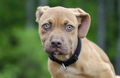 Red Pitbull puppy dog Royalty Free Stock Image