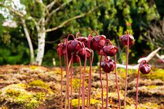 Red pitcher plant Stock Images