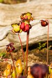 Red pitcher plant Stock Image