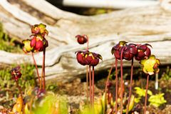 Red pitcher plant Royalty Free Stock Photos