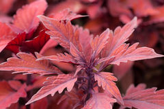 Red Plant. Red, leafy plant growing outdoors in Amherst, MA Stock Images