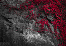 Red plant diagonal composition. Picure of a plant growing on a stone wall Stock Photos