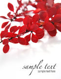Red plant (easy to remove the text) Royalty Free Stock Images