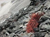 Red plant growing on rocks in 5550 m altitude Stock Photo