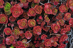 Red plant leaves. Abstract background of red plant leaves in butchart gardens, vancouver island, british columbia, canada Stock Photos