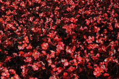 Red plant leaves Royalty Free Stock Images