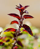 Red plant leaves Royalty Free Stock Photo