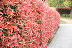The red plant wall Royalty Free Stock Photos