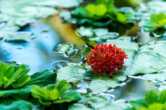 Red plant in water Royalty Free Stock Image