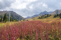 Red plants at the mountains, Tien Shan mountains Shymbulak ski r Stock Photography
