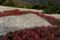 Red plants surrounding rocks on mountian side. Low red flowering plants surrounding rocks on a mountain top Royalty Free Stock Photo