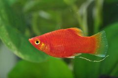 A Red Platy Stock Photo