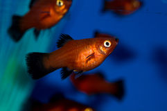 Red Platy Fish. The Red Wag Platy is a sporty two-tone variety of Xiphophorus maculatus Platy. The energetic color combination of red and black gives the Red Wag stock photo