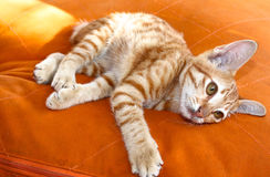 Red playful kitten Royalty Free Stock Images