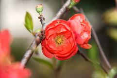 Red plum blossom Royalty Free Stock Images
