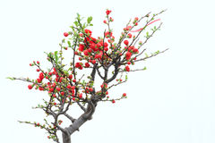 Red plum blossom. The red plum blossom with white background Stock Images