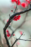 Red plum blossom Stock Images