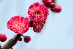 Red plum blossom blooming Royalty Free Stock Photography
