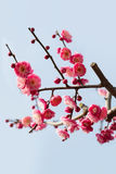 Red plum blossom branches Stock Photo