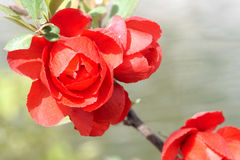 Red plum blossom Stock Image