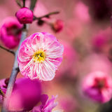 Red plum blossom closeup Stock Photography