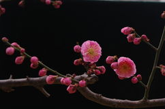 Red plum blossom Royalty Free Stock Photo