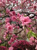 Red plum blossom in garden stock image
