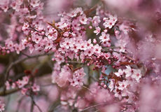 Red Plum Blossoms  Stock Images