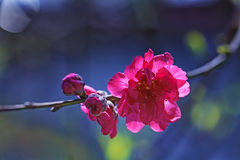 Red plum blossoms Stock Image