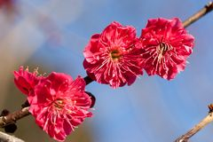 Red plum blossoms Royalty Free Stock Photos