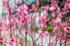 Red Plum blossoms Stock Photography