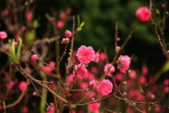 Red plum blossoms Stock Photo
