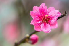 Red Plum blossoms Stock Photos