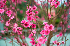 Red Plum blossoms Royalty Free Stock Photo