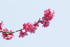 Red plum blossoms. Red blossoms of plum trees Stock Image