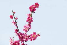 Red plum blossoms. Red blossoms of plum trees Stock Photos