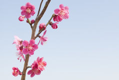 Red plum blossoms. Red blossoms of plum trees Royalty Free Stock Image
