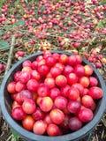 Red plum. Stock Photo