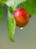Red plum and drop of water Royalty Free Stock Photo