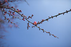 Red plum flower in blossom Stock Photo
