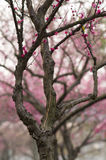 Red plum flower stock images