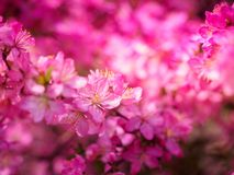 Red plum flowers with blur background. In the garden Royalty Free Stock Photos