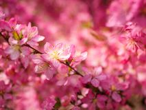 Red plum flowers with blur background. In the garden Royalty Free Stock Image