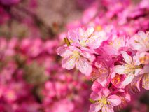 Red plum flowers with blur background. In the garden Stock Photography