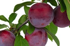 Red plum Stock Photography