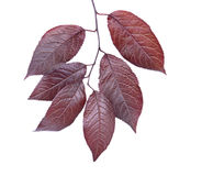 Red plum leaves isolated on a white background. Purple leaf. Beautiful and colorful foliage on a branch. Saving environment. Royalty Free Stock Images