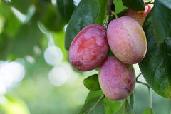 Red plum. Red ripe plum on a tree in the garden stock photos