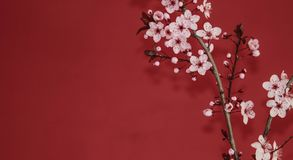 Red plum tree branch against a red wall royalty free stock image