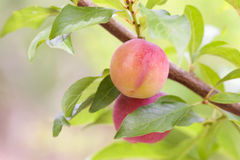 Red plum on tree Stock Images