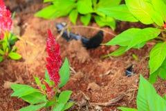 Red plumed cockscomb flower or Celosia argentea beautiful in the garden.  Stock Photo